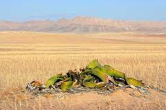 Welwitschia, Namib desert - stock photo