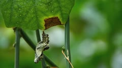 Stock Video Footage of Stunning Butterfly Cocoon hanging on tree