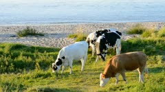 Cattle on water Stock Footage