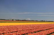 Tulips in various colors on a field Stock Photos