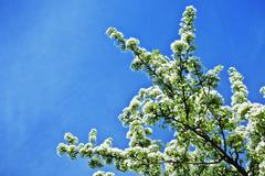 White flowers of apple trees against the blue sky Stock Photos