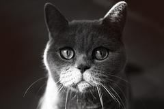 british grey cat - stock photo