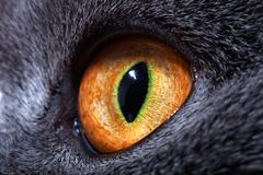The yellow cat's eye Stock Photos