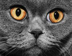Funny gray british cat with bright yellow eyes, close-up Stock Photos