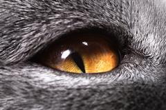Keltainen kissan silmä Kuvituskuvat