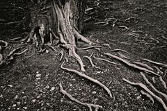 tree roots on the soil - stock photo