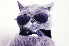 portrait of british shorthair gray cat wearing sunglasses - stock photo