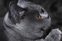 funny gray british cat with bright - stock photo