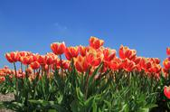 Red tulips with a touch of yellow on a field Stock Photos