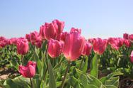 Purple pink tulips in the sunlight Stock Photos