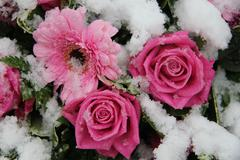 Pink roses and gerberas in the snow Stock Photos