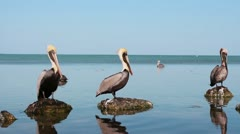 Pelicans in Everglades National Park, Florida Stock Footage
