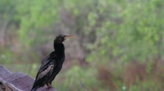 An Anhinga preening itself, Everglades National Park, Florida Stock Footage