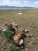 Dog corpse in mongolian steppe - stock photo