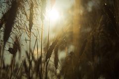 Sun and cornfield macro Stock Photos