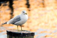 Seagull resting - stock photo