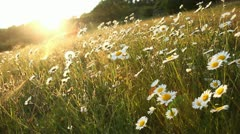 Spring season daisy field Stock Footage