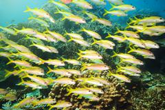 School of yellowfin goatfish Stock Photos
