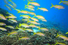 school of yellowfin goatfish - stock photo
