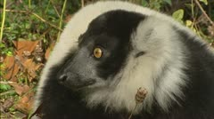 Black-and-white ruffed lemur (Varecia variegata) close up Stock Footage