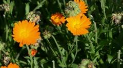 Orange marigold calendula herb bloom. alternative medicine Stock Footage