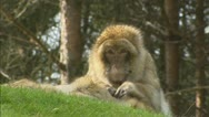 Barbary Macaque (macaca sylvanus) grooming. Stock Footage
