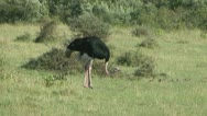 Stock Video Footage of ostrich