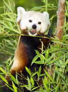 red panda eats regular diet of bamboo shoots and tree branches - stock photo