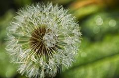 Dandelion with water drops Stock Photos