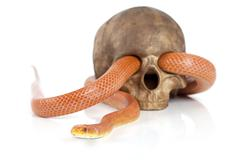 Texas rat snake with skull Stock Photos