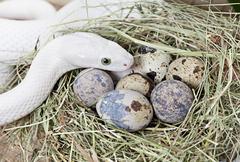 Texas rat snake on a clutch of eggs Stock Photos