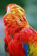 Ara feathers vertical - stock photo
