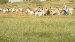 Agricultuure, animals herded Stock Footage