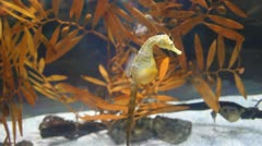 pregnant sea horse. Hippocampus. video - stock footage