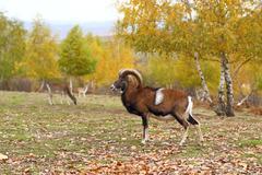 Mouflon in fall season Stock Photos