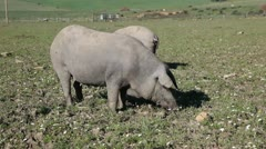Iberian pigs in Andalusia, Spain Stock Footage