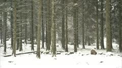 Bellever tree trunks in snow Stock Footage