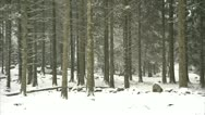 Stock Video Footage of Bellever tree trunks in snow