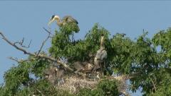 HERON FAMILY ON NEST - stock footage