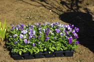 Flat of violets Stock Photos