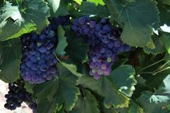 grapes in the provence - stock photo