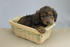 young dachshund puppy - stock photo