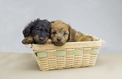 Dachshund puppy pair Stock Photos