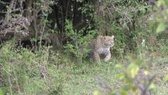 SNEAKY LEOPARD - stock footage
