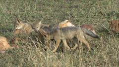 PLAYING JACKAL CUBS - stock footage