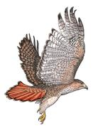 Red-tailed hawk - stock illustration
