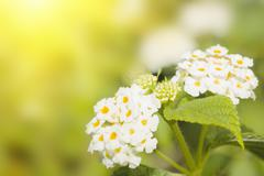 Floral background. lantana flowers Stock Photos