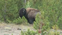 BISON ATTACKS PINE - stock footage