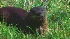 Otter in Big Thicket, Texas 5 Stock Footage