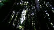 Stock Video Footage of Redwood Forest.19